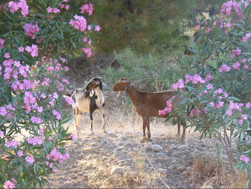 Goats on a hiking route in Mallorca