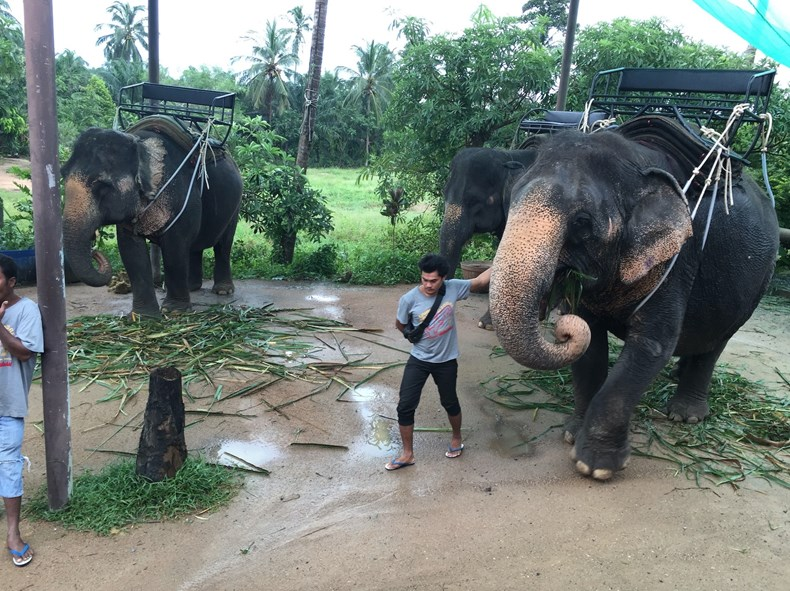 Thai working elephant
