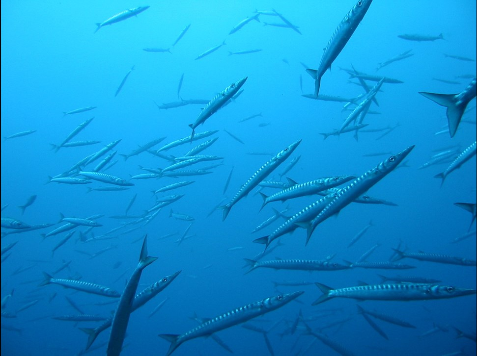 Barracudas in Mallorca